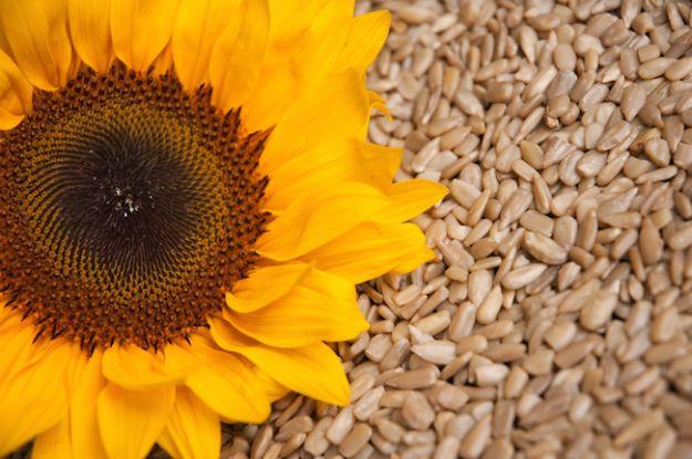 semi di girasole proprieta ricette