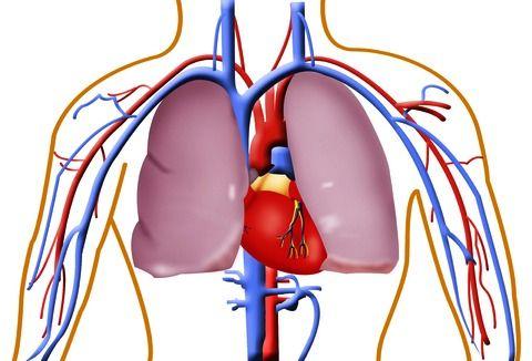 sistema cardiocircolatorio rosa canina