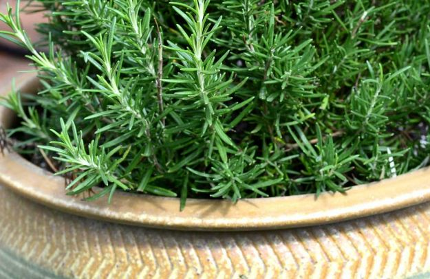 come coltivare il rosmarino in vaso