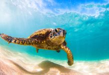 Giornata mondiale oceani: tartaruga marina che nuota in acqua