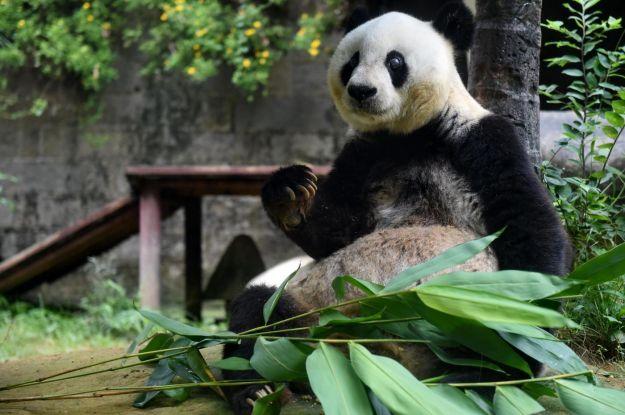 curiosita sul panda