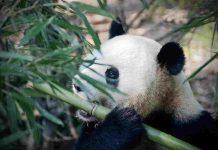 Panda mangia bambù