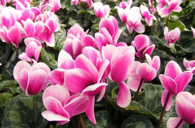 fiori invernali in vaso o per il giardino