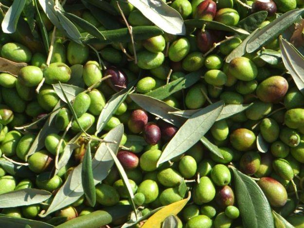 estratto secco di olivo