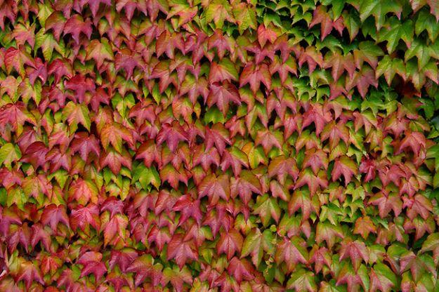parthenocissus tricuspidata piante rampicanti