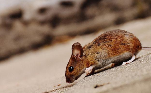 topi isola di montecristo