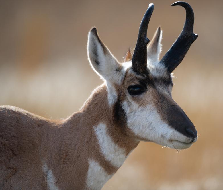 Animali con le corna, antilope