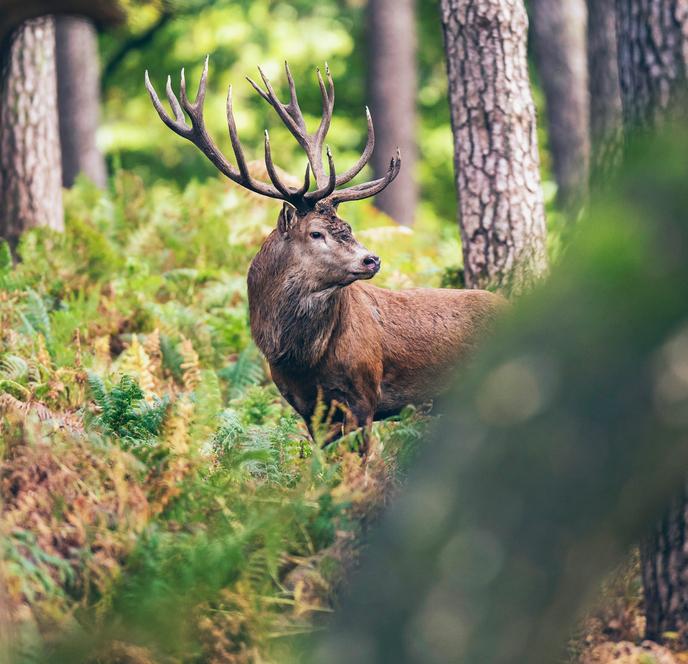 Animali con le corna, cervo