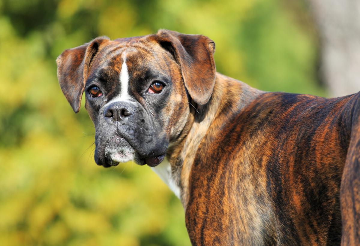 Cani taglia media: boxer