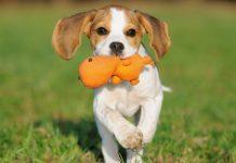 Cani taglia media: razze, peso e curiosità sui cani dai taglia media (in foto un cucciolo di beagle)