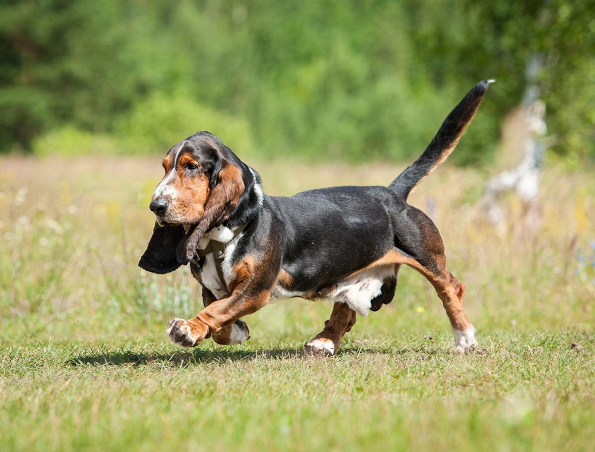 Cani taglia media: basset hound
