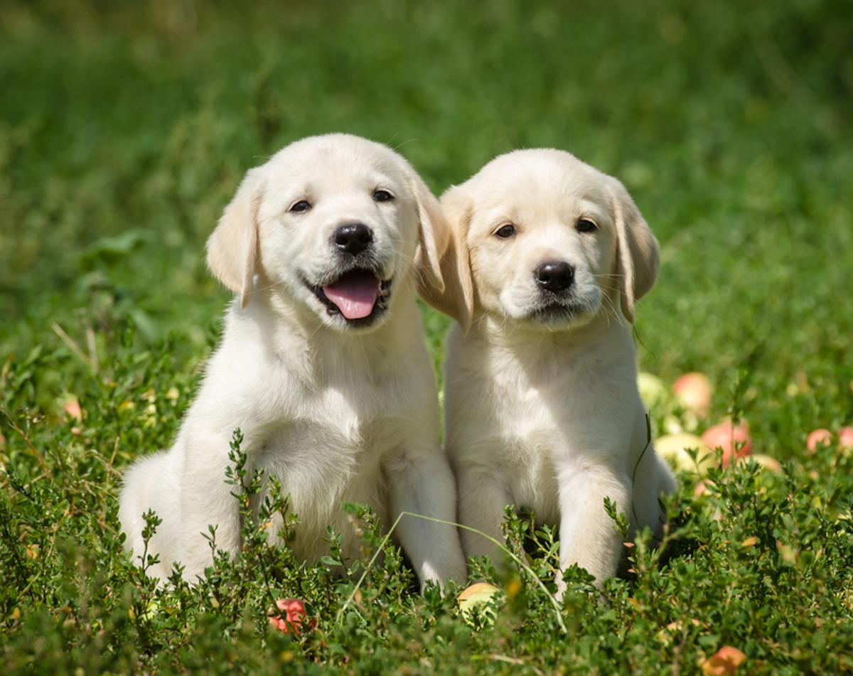 Cani taglia media: labrador