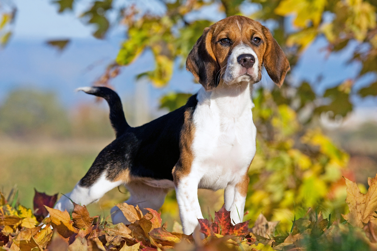 Cani taglia media: beagle