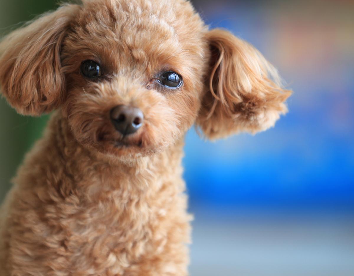 Cani taglia media: barbone