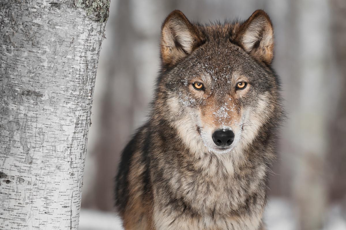 Che animale sei test, risultato lupo