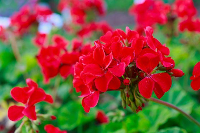 Come curare i gerani, vaso di gerani rossi