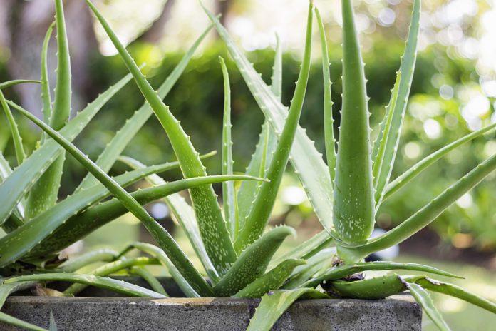 Come coltivare l'aloe vera in piena terra e in vaso