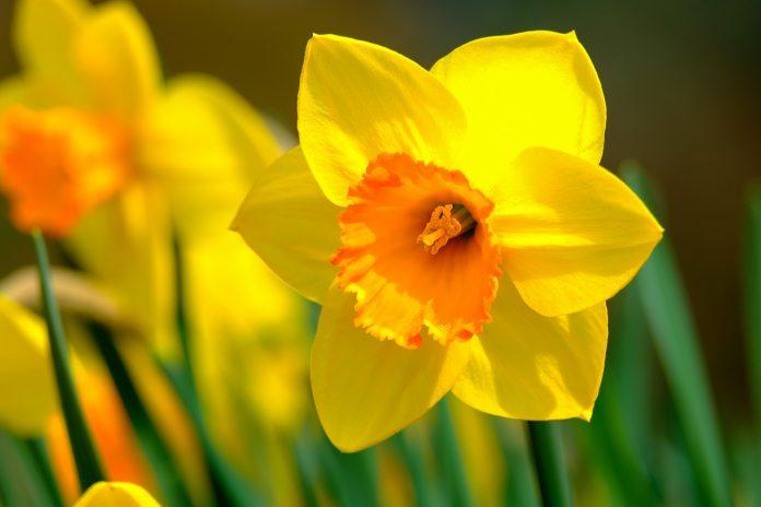 come coltivare e prendersi cura del narciso in vaso