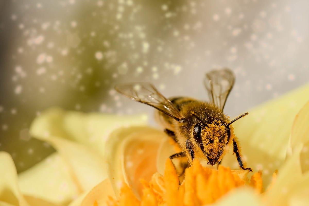 Ape coperta di polline su un fiore giallo