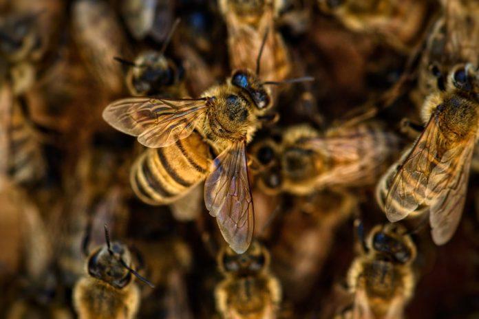 colonia di api