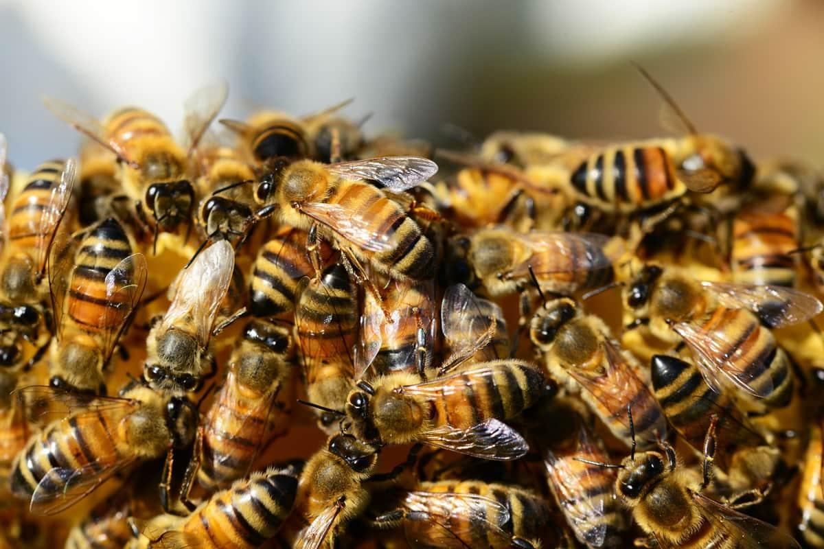 colonia di api mellifere