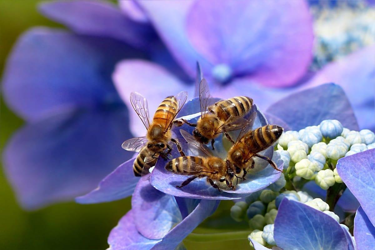 quattro api impollinano un fiore viola