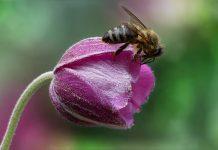 ape impollina un fiore rosa