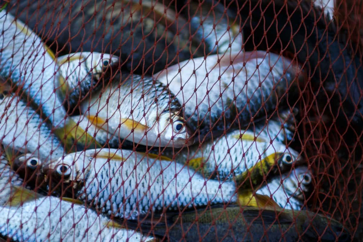 pesci in una rete da pesca sostenibile
