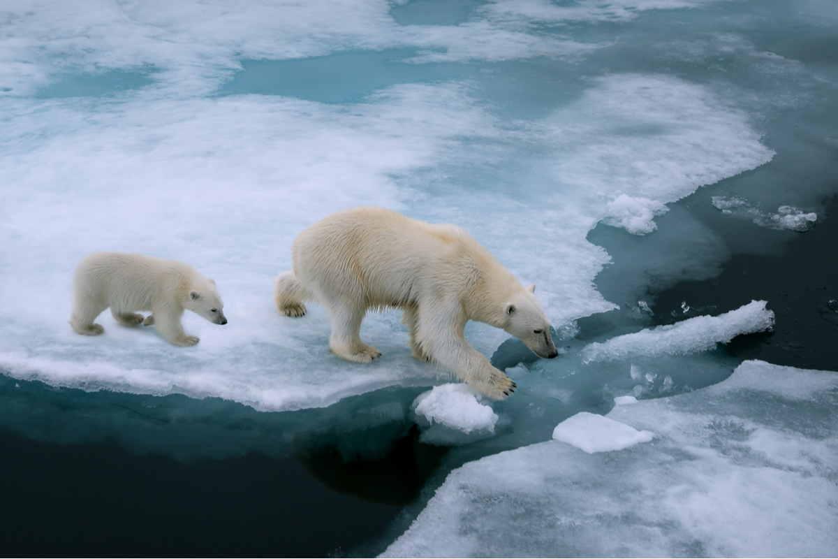 Orsi polari e scioglimento dei ghiacci