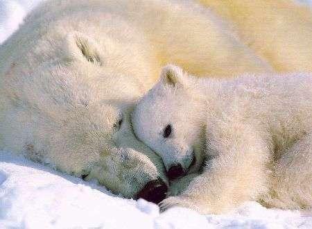 orsi bianchi